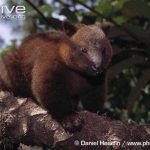 https://kukangku.id/wp-content/uploads/2018/07/Dendrolagus-dorianus-150x150.jpg