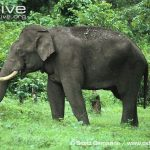 https://kukangku.id/wp-content/uploads/2018/07/Elephas-maximus-150x150.jpg