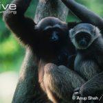 https://kukangku.id/wp-content/uploads/2018/07/Hylobates-muelleri-150x150.jpg