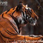 https://kukangku.id/wp-content/uploads/2018/07/Panthera-tigris-sumatrae-150x150.jpg
