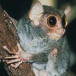 https://kukangku.id/wp-content/uploads/2018/07/Tarsius-pelengensis-150x150.jpg
