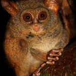 https://kukangku.id/wp-content/uploads/2018/07/Tarsius-tarsier-150x150.jpg