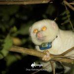 kukang albino