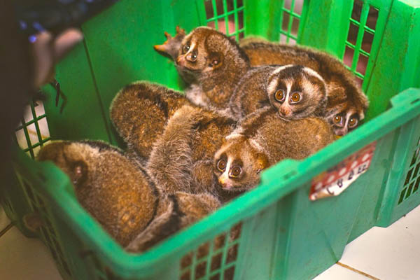 penyelundupan kukang sumatera