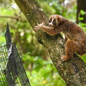 pelepasliaran kukang sumatera